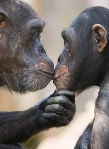 «Как люди»: каким бывает альтруизм обезьян