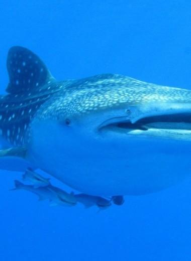 Око за зуб: у китовых акул глаза покрыты зубами