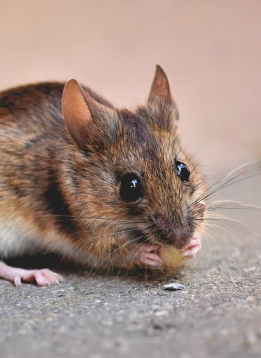 Городские мыши оказались умнее деревенских собратьев
