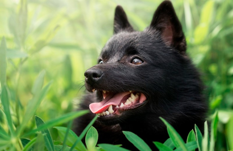 10 редких пород собак, о которых вы не знали