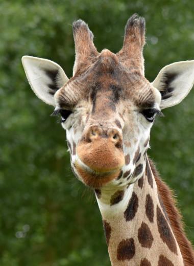 Рога жирафов могут действовать как смертельный громоотвод