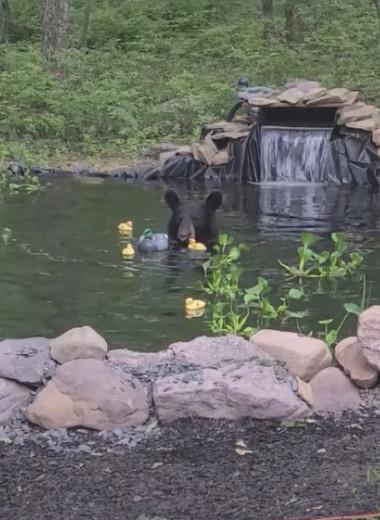 Барибал забрался в пруд с карпами кои и поиграл с резиновыми уточками: видео