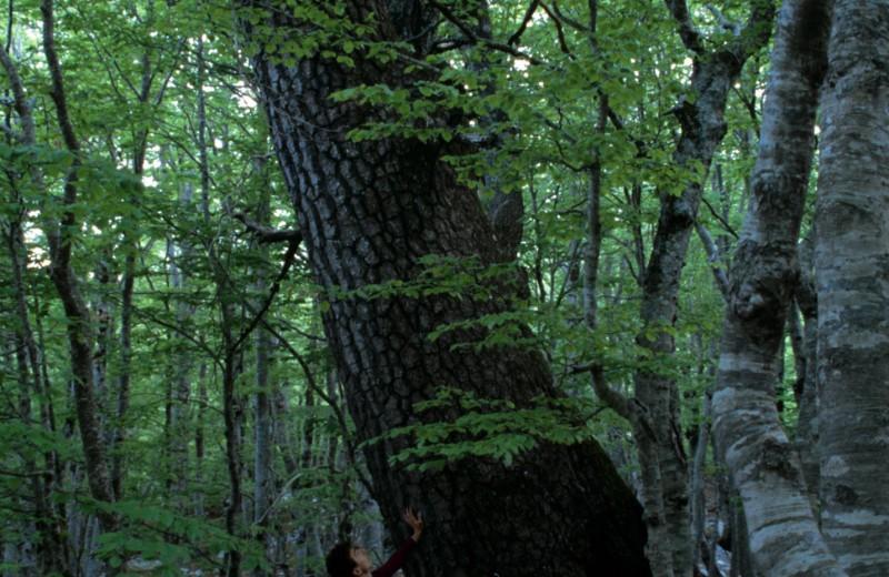Самое старое дерево Европы: новый рекорд