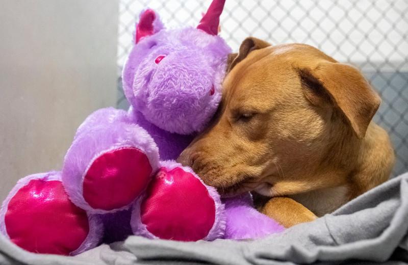 Преступление и вознаграждение: бродячему псу подарили игрушку единорога. Он пытался украсть ее 5 раз