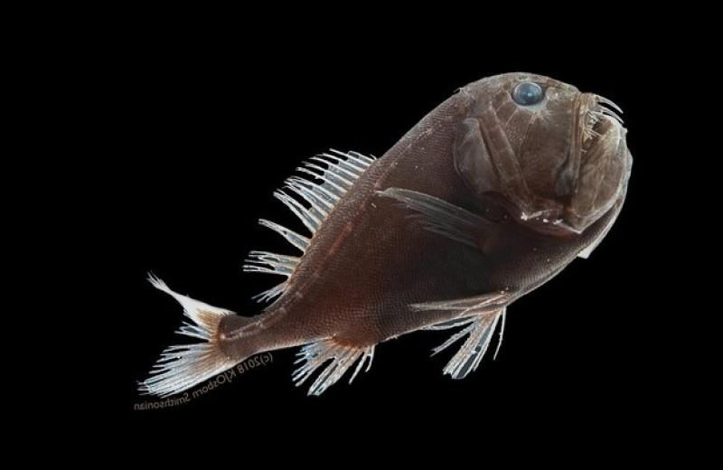 Сверхчерные глубоководные рыбы уловили 99,96 процента падающего света