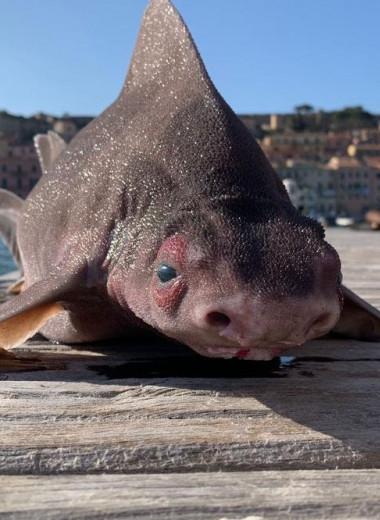 В Италии заметили акулу с мордой свиньи: это что за рыба?