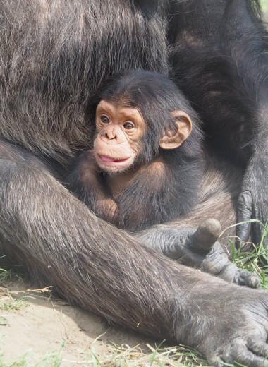 Сообщество самых умных шимпанзе пополнилось детенышем и получило шанс на выживание