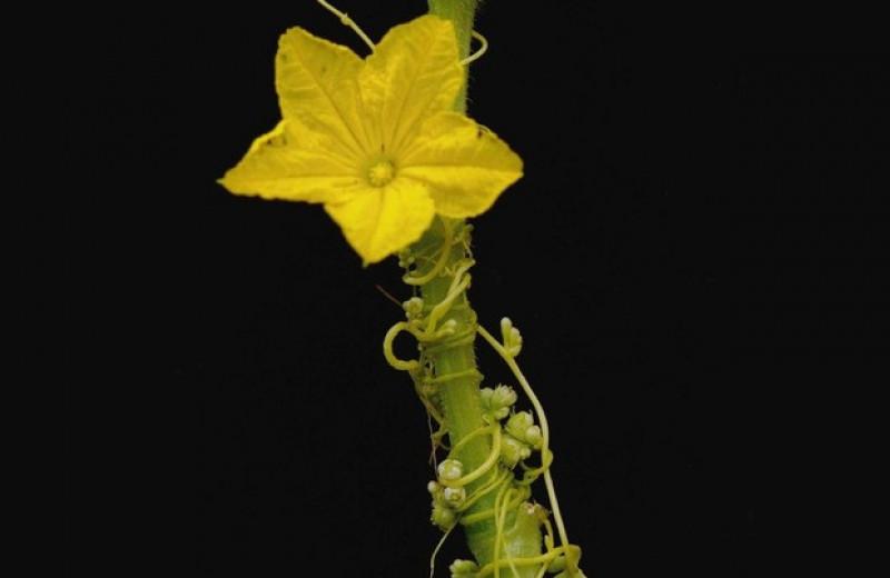 Повилика синхронизировала время цветения с хозяином с помощью ворованных белков
