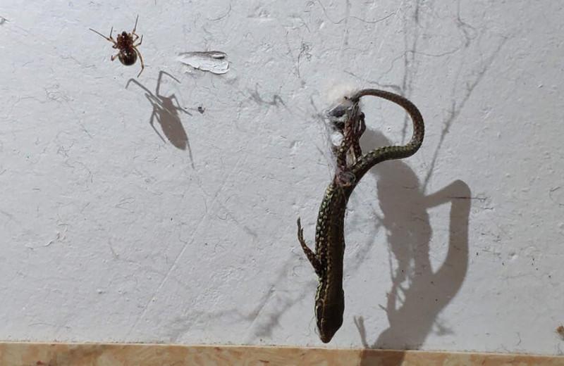 Крошечный паук поднимает на паутине добычу в 50 раз тяжелее себя: видео