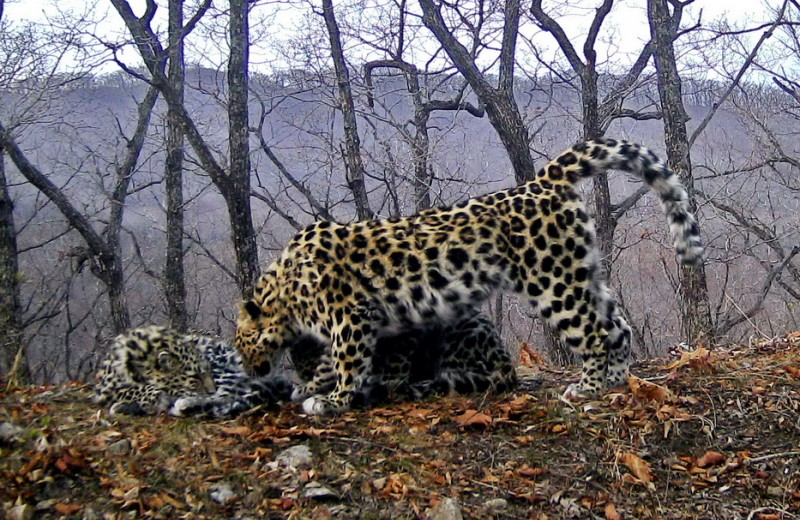 Впервые на видео: кормление маленьких дальневосточных леопардов