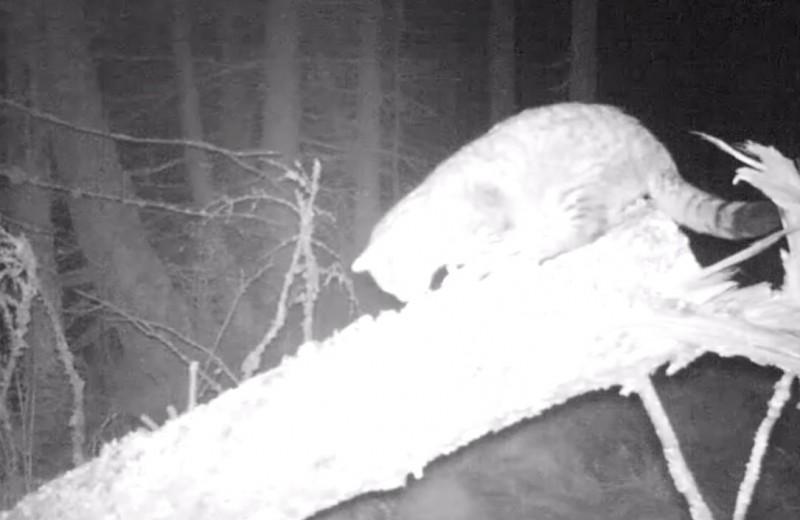 Необыкновенно крупный лесной кот попал на видео
