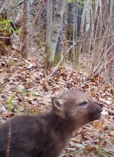 Услышь мой зов: маленький волчонок воет прямо перед фотоловушкой