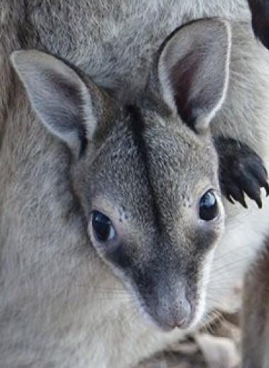 В Австралии спасли популяцию карликовых кенгуру