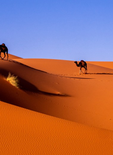 В чем секрет сверхвыносливости верблюдов