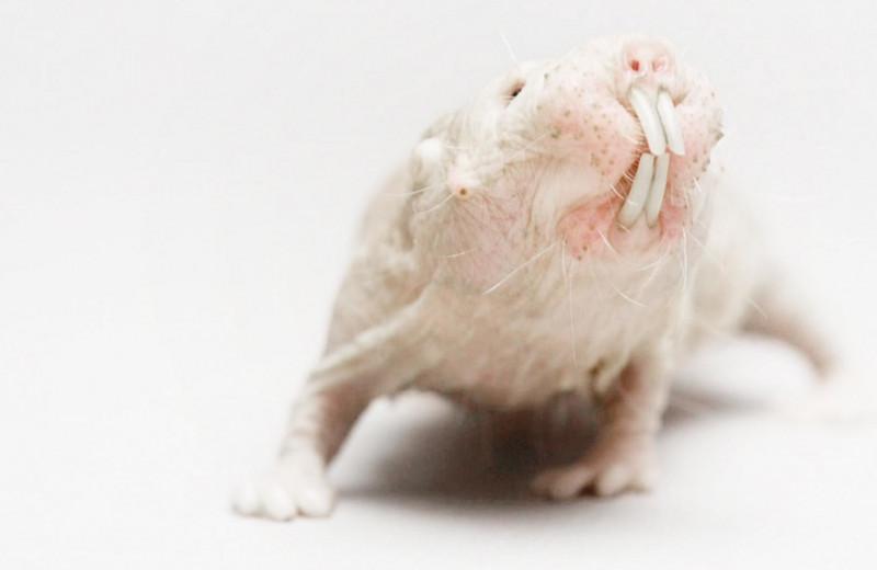 Животное, которое не стареет: голый землекоп