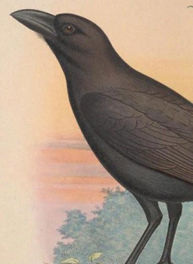 После двух неудачных попыток орнитологи представили новый план возвращения ворон на Гавайи