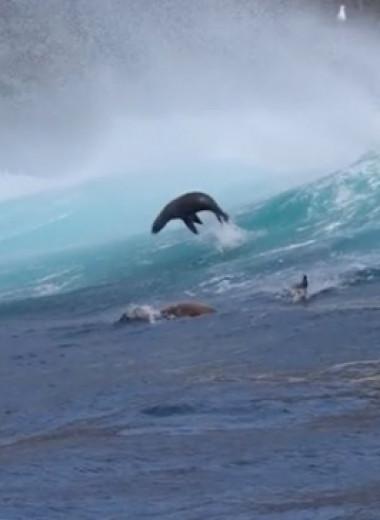 Морские львы осваивают серфинг: захватывающее видео