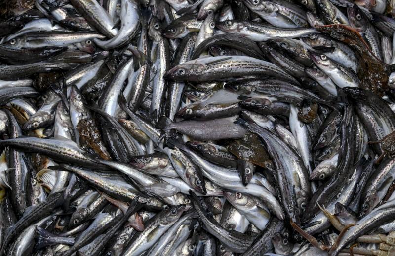 Минтай премиум-класса: куда уплывает народная рыба