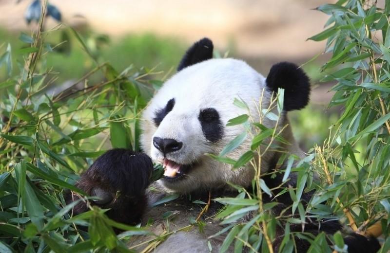 Почему большие панды едят лишь бамбук, если они – медвежьи?