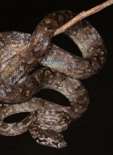 В Доминиканской Республике впервые за столетие открыли новый вид удава