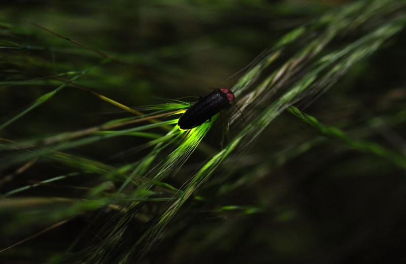 Ультразвуковая броня спасает светляков от летучих мышей