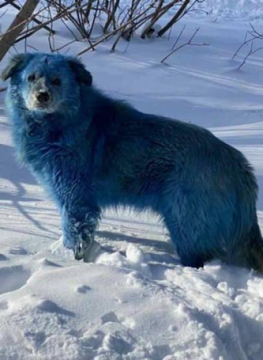 Откуда в Нижегородской области взялись голубые собаки