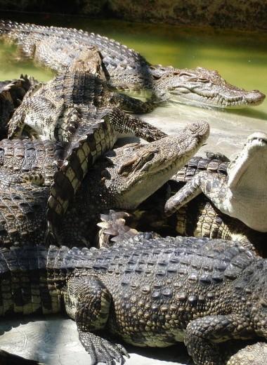 Индонезийцы устроили бойню на крокодиловой ферме: убиты почти 300 животных