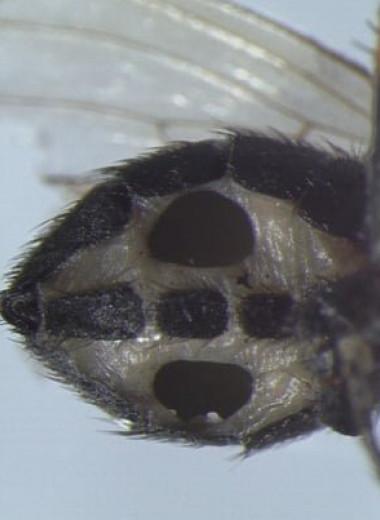 Грибы-паразиты превращают мух в зомби и медленно пожирают их внутренности