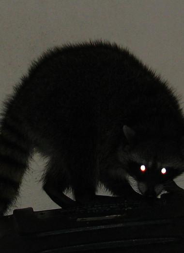 Стоит ли енотам бояться койотов?