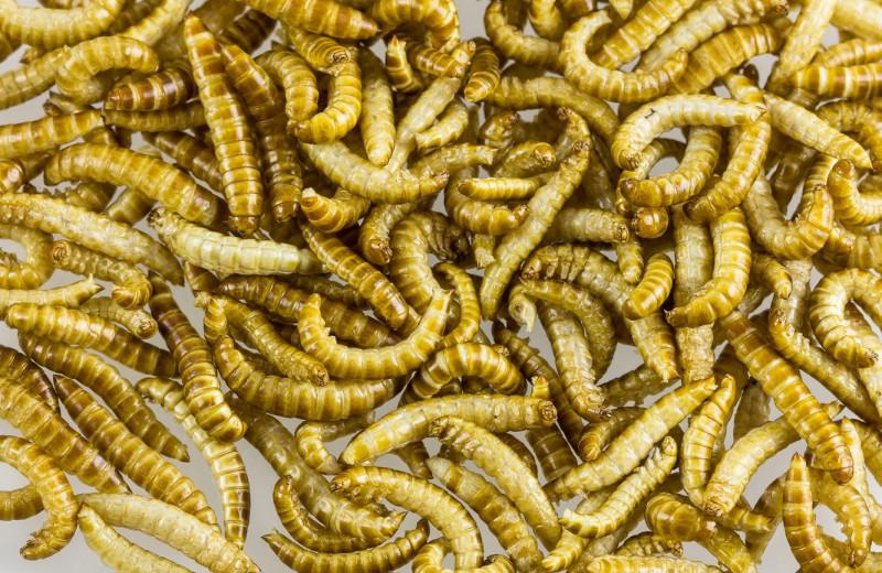 ЕС признал мучных червей пригодными для употребления в пищу
