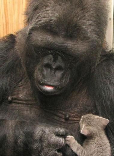 Умерла легендарная горилла Коко
