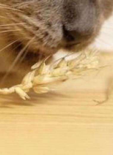 Первая легальная ГМ-пшеница вырастет в Аргентине