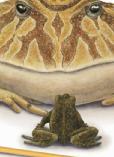 Дьявольская лягушка могла проглотить детеныша динозавра