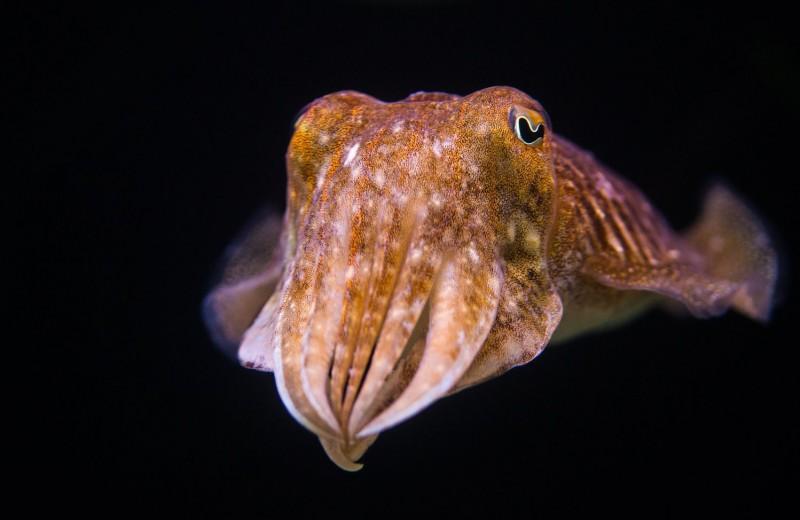 Каракатицы успешно прошли тест на самоконтроль