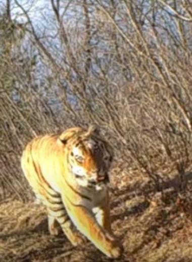 Перекличка тигра и оленя попала на видео в Приморье