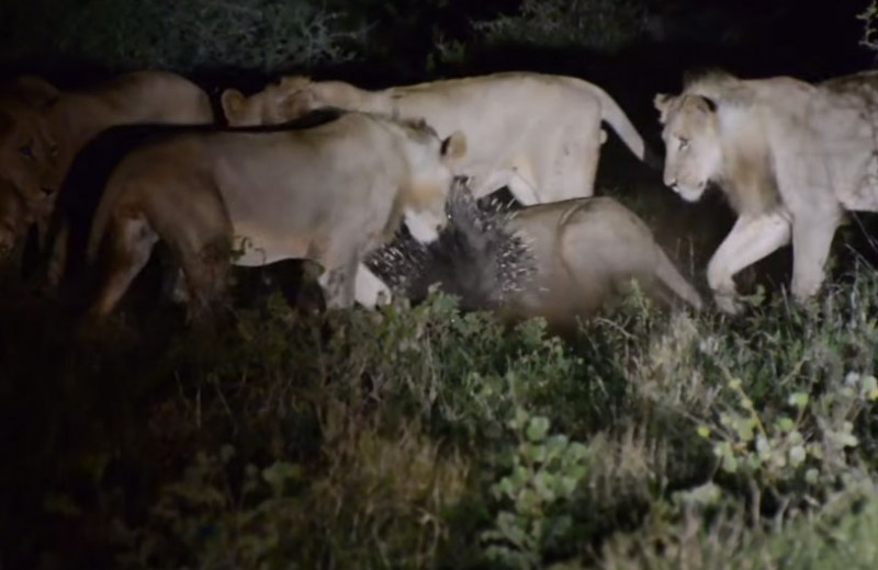 7 львов против дикобраза: один в поле воин!