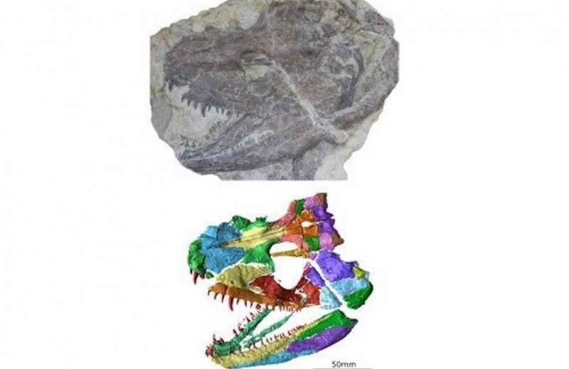 Древние кости: ученые реконструировали череп животного возрастом 340 миллионов лет