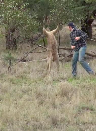Биолог: «Вступивший в бой с кенгуру мужчина рисковал жизнью»