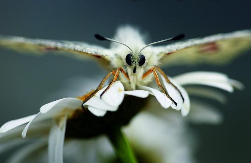 Аполлон: бабочка с божественным именем