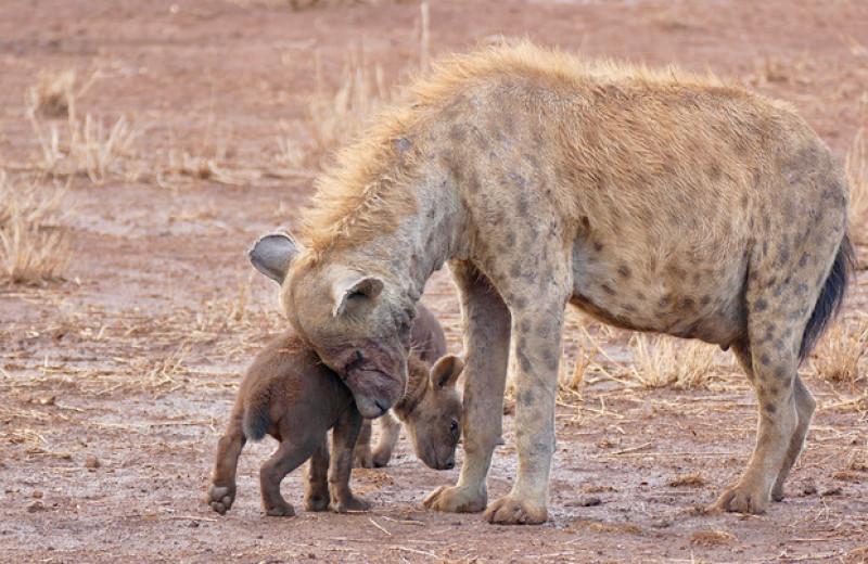 Высокоранговые пятнистые гиены передали социальные связи по наследству