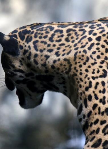 Ягуаров в Центральной и Южной Америке стали убивать чаще в 200 раз (или даже больше)