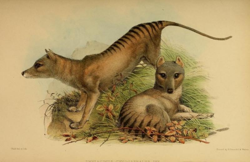Сумчатого волка назвали охотником на мелкую добычу