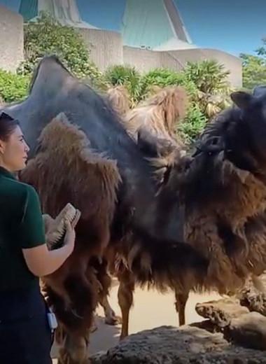 Цирюльник для верблюдов: видео из зоопарка