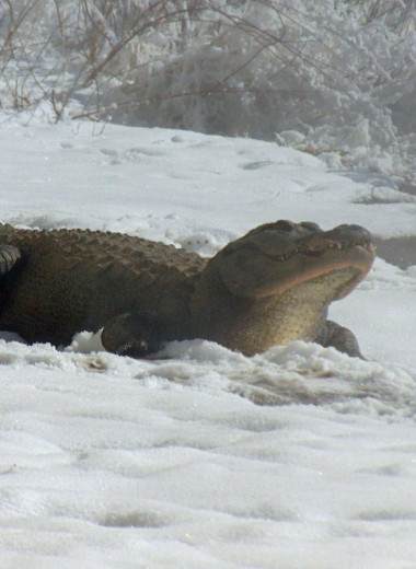 Аллигаторы гуляют по снегу: редкие фото