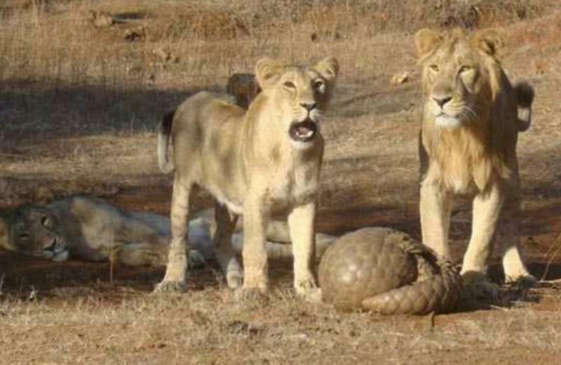 Как лев панголина съесть пытался: видео