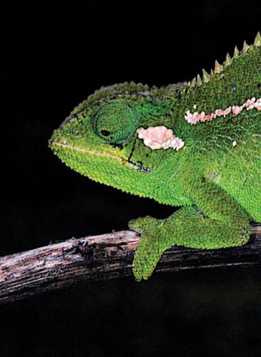Колючий и уникальный: в Африке нашли новый вид хамелеонов