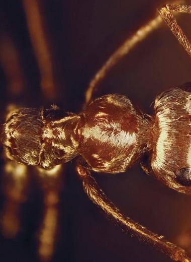 «Не брейте металлиста»: почему сахарские муравьи не боятся жары