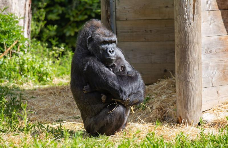 Покинутого матерью детеныша гориллы усыновила другая самка