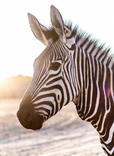 Зачем зебре полоски? Ученые 150 лет бились над разгадкой и нашли ответ