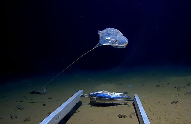 Удивительный «воздушный шар» со дна океана: видео